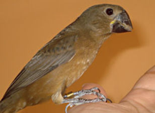 Pássaros Bicudos Filhotes de boa Linhagem