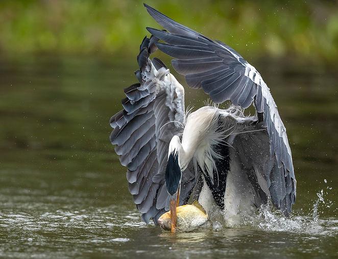 Heron catching piranha.jpg