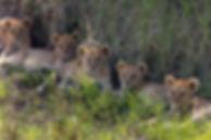 5 Lion Cubs.jpg