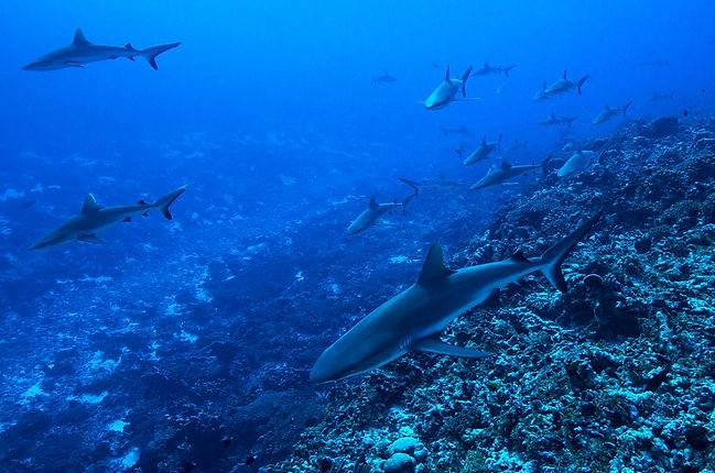 Sharks on the Move.jpg