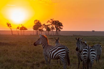Sunset Zebras.jpg