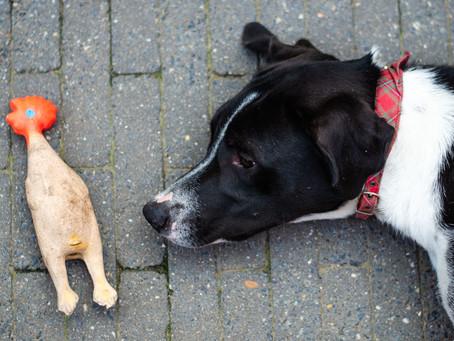 Wat heb je allemaal nodig als je een hond in huis neemt?