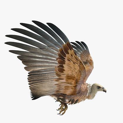 Griffon Vulture -3DS Max