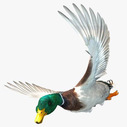 Mallard Duck - C4D