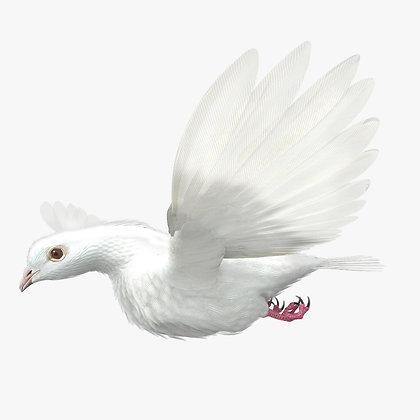 Dove - C4D