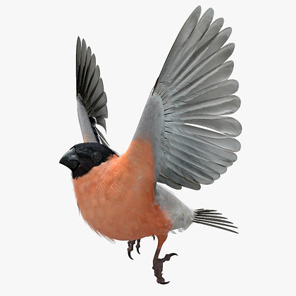 Eurasian BullFinch - Lightwave