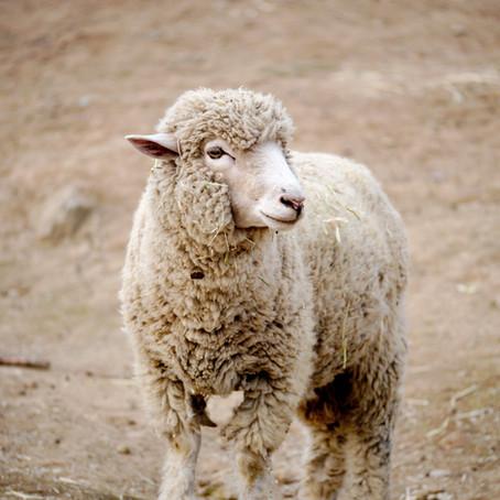 The Navajo Nation: Sheep Stories