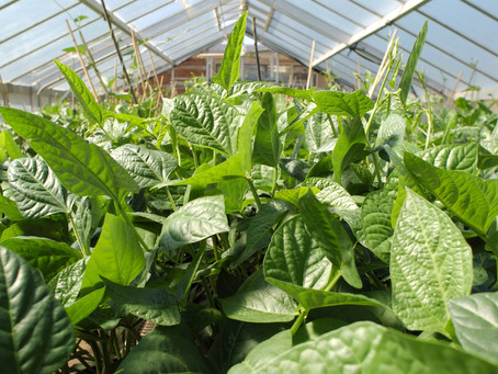 Five edible cover crops that provide food while building the soil