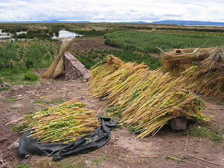 What are the so-called 'orphan crops', and why are they important?