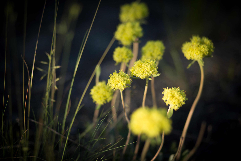 Sawtooth Evening Flowers