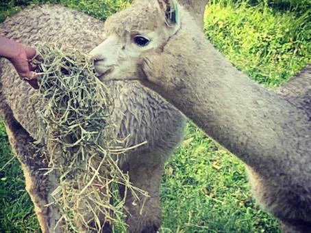 We have alpacas