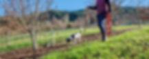 Truffle dog hunting for truffles at George's Truffles
