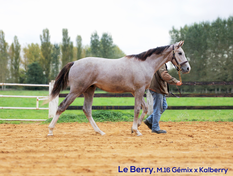 Le Berry yearling Gémix x Kalberry