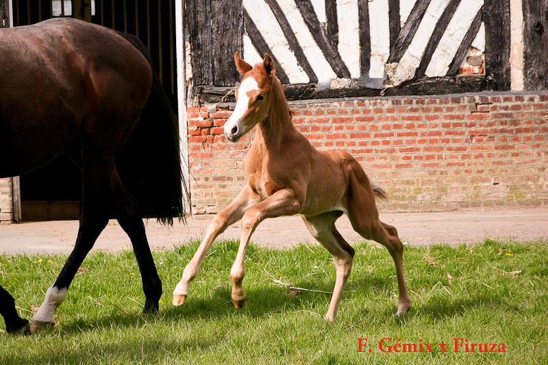 foal Firuza x Gémix