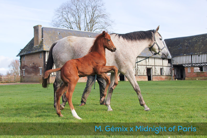 foal Midnight of Paris x Gémix