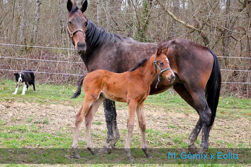 foal Eolia x Gémix