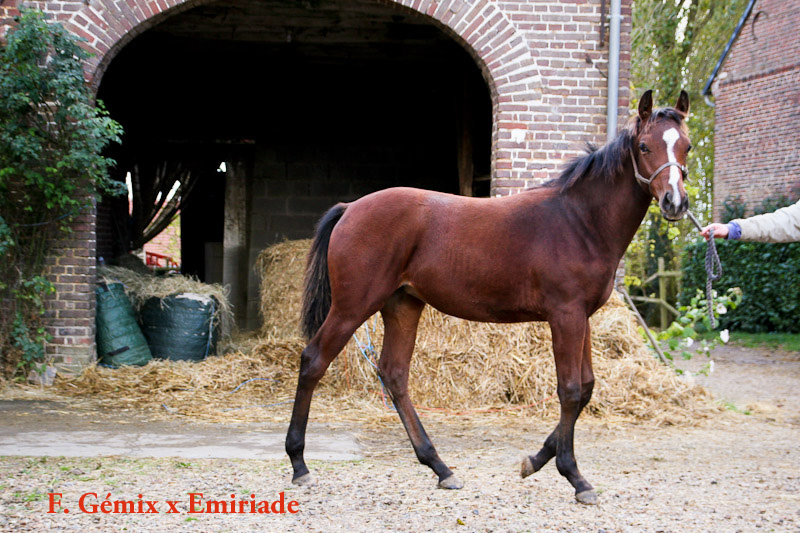 yearling Emiriade x Gémix