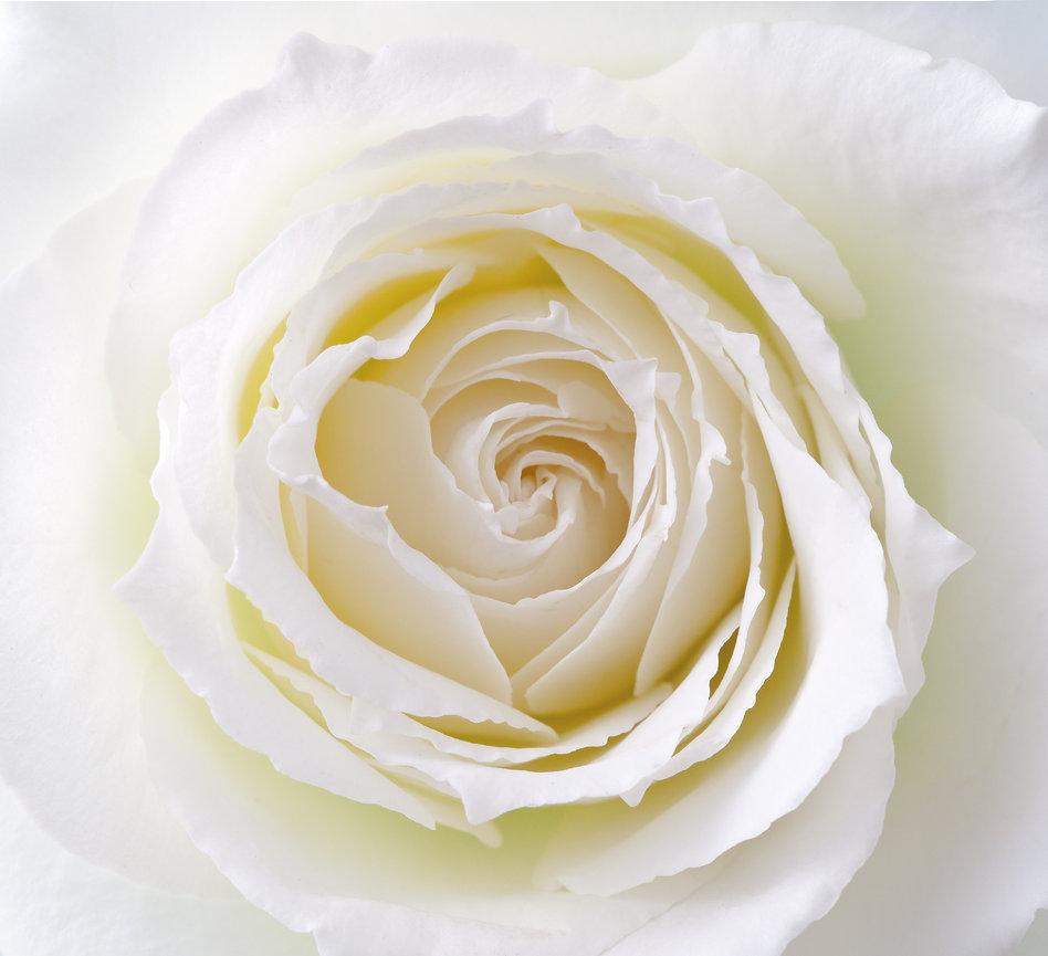 Shenda Website Creamy White Rose 4B copy.jpg