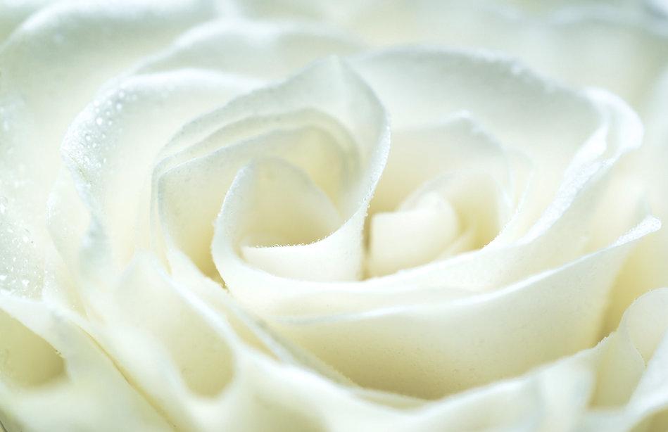 Shenda Website Creamy White Rose 6.jpg