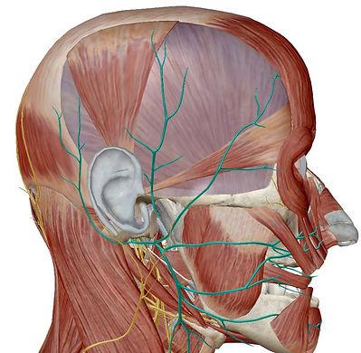 TMJ-Facial-Trigeminal-Nerves.JPG