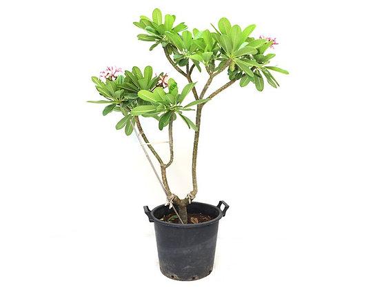 Plumeria Obtusa (Bare Rooted)