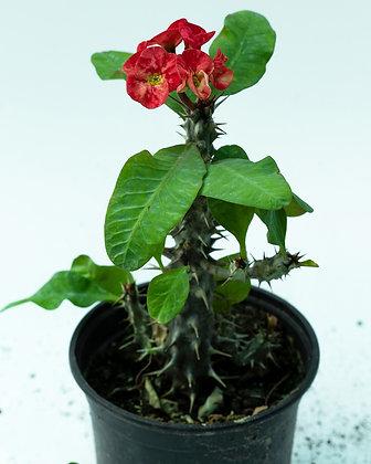 Euphorbia Milli (Crown Of Thorns)