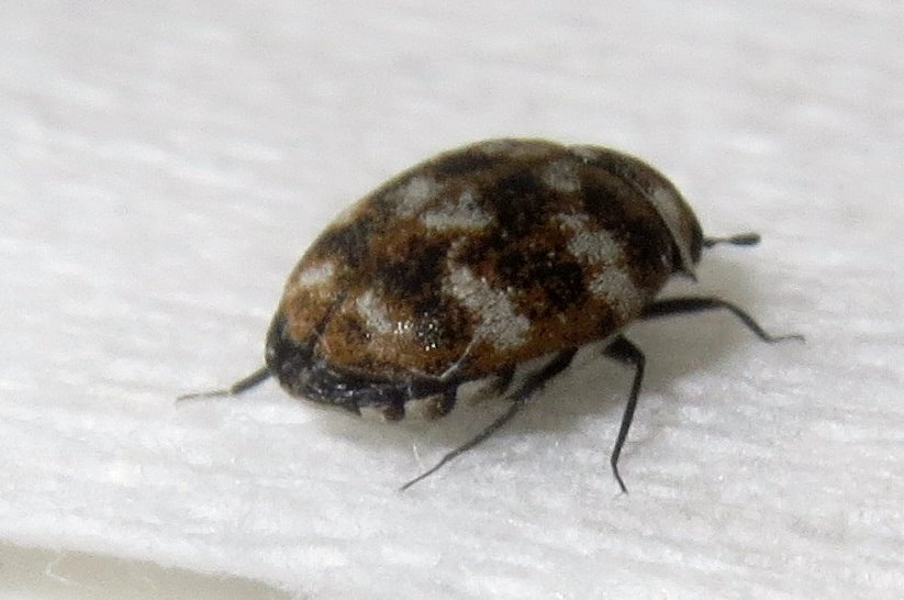 CARPET BEETLE FEEDING DAMAGE AND SIGNS | Godfather's Exterminating | Pest  Control for St. Cloud, MN