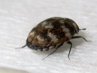 CARPET BEETLE FEEDING DAMAGE AND SIGNS