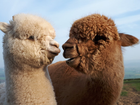 Alpaca Facts: 7 Things You Didn't Know About Alpacas!