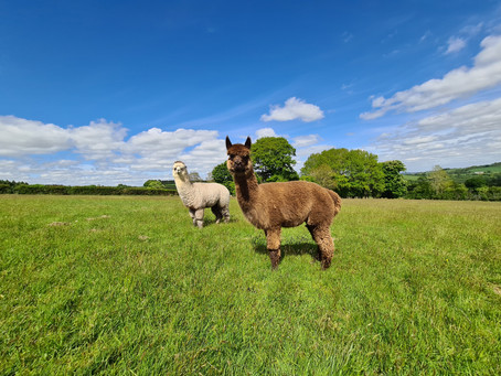 Caring for Alpacas: How to Administer Medications