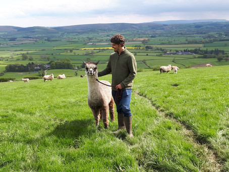 Starting your own herd Part 2: How to choose my alpacas and what to avoid