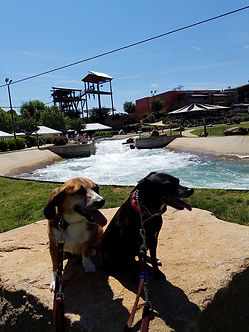 Reactive dogs in training