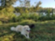 Great Pyrenees Dog Trainin