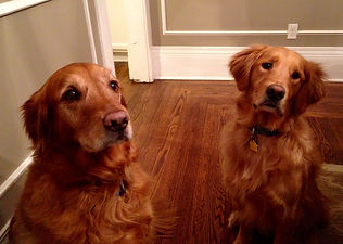 Training a Golden Retriever for obedience