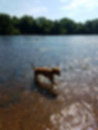 Boxer dog off leash in water