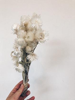 Helichrysum cape snow