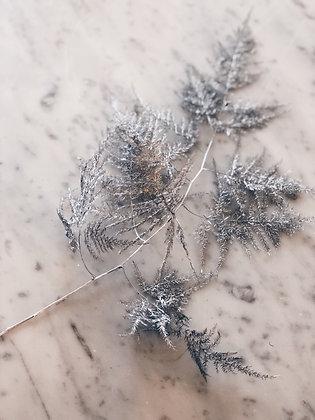 Asparagus zilver