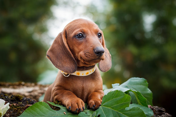 cute dachshunds puppy with nature backgr