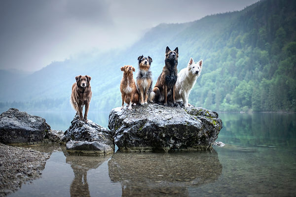 Five dogs are sitting on a rock in beaut