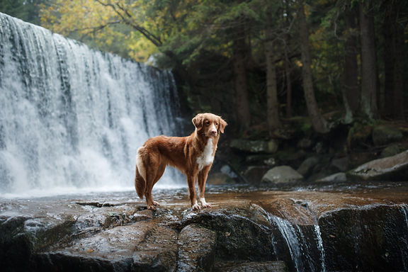 A dog by the waterfall. Pet on the natur