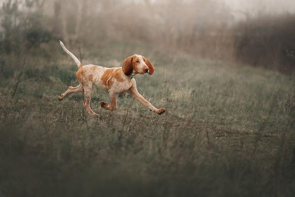 bracco italiano puppy running on a field