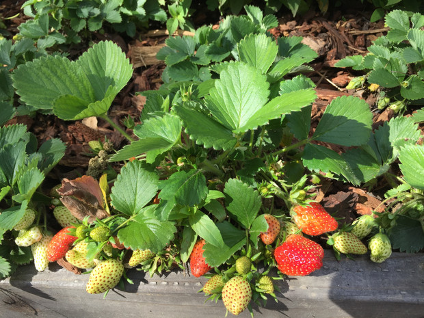 Being a Strawberry Farmer: Preschoolers in the Edible Garden