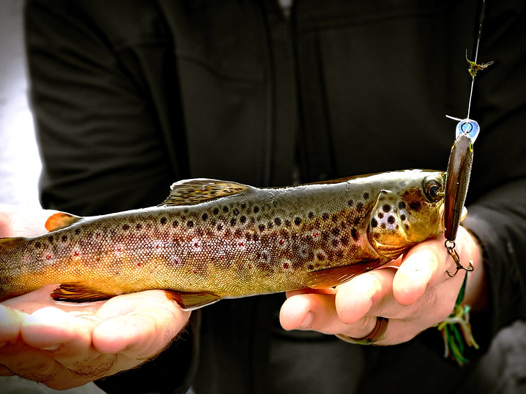 TP-1.5 brown trout.jpg