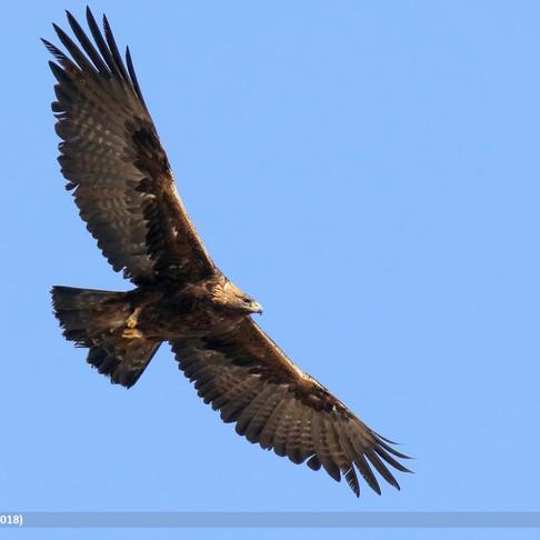 """Con permiso del Dúo Dinámico,""""quisiera ser...un águila real..."""""""