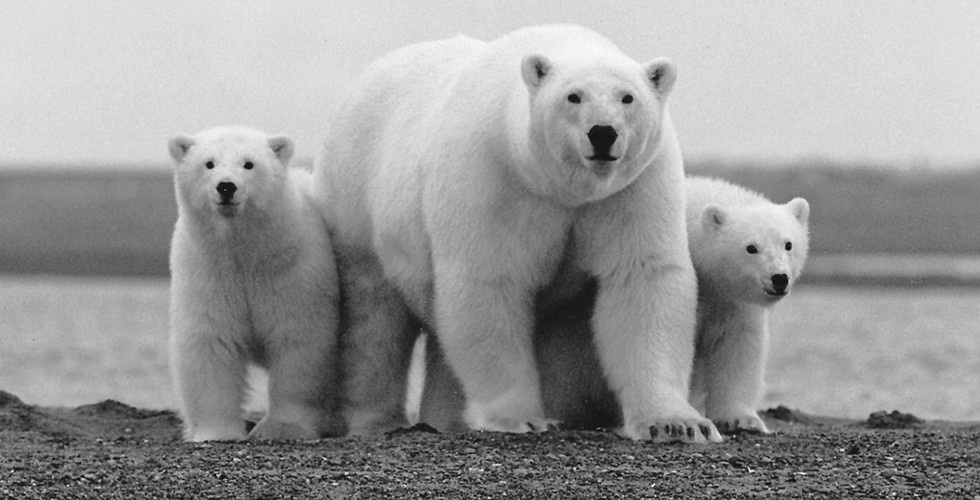 A watchful polar bear and her two young cubs in the Arctic National Wildlife Refuge, Alaska.