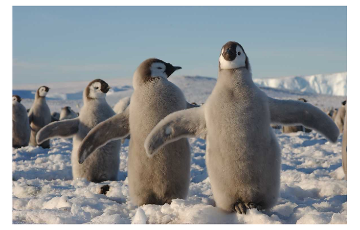A photograph of three young penguins standing in the snow with their wings outstretched.
