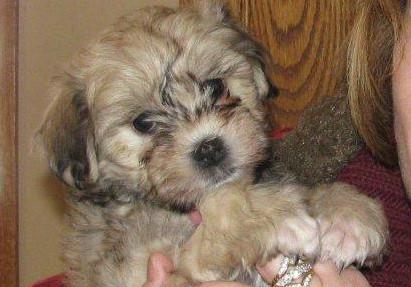 Lana 7wksLowchen puppy.jpg