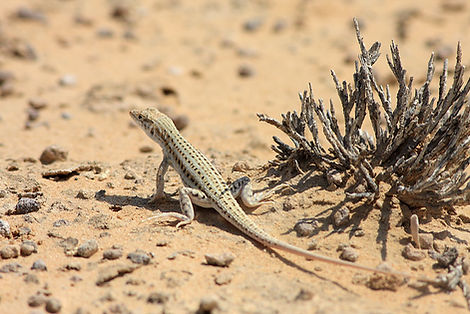 Desert Lizard