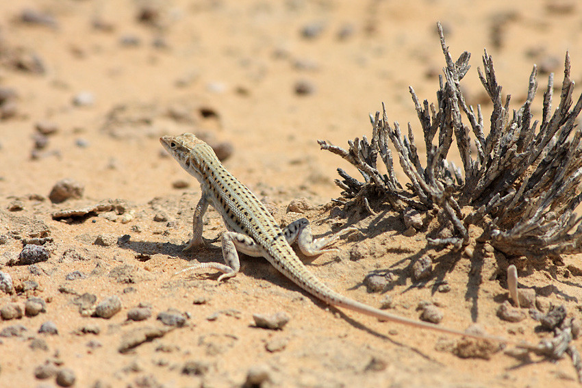 lizard in dessert with dry mouth