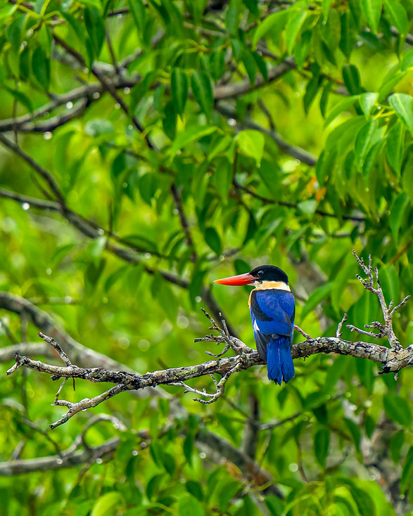 Blackcapped Kingfisher